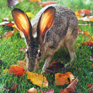 Autumn Jackrabbit. Photo by Joyce Bowes