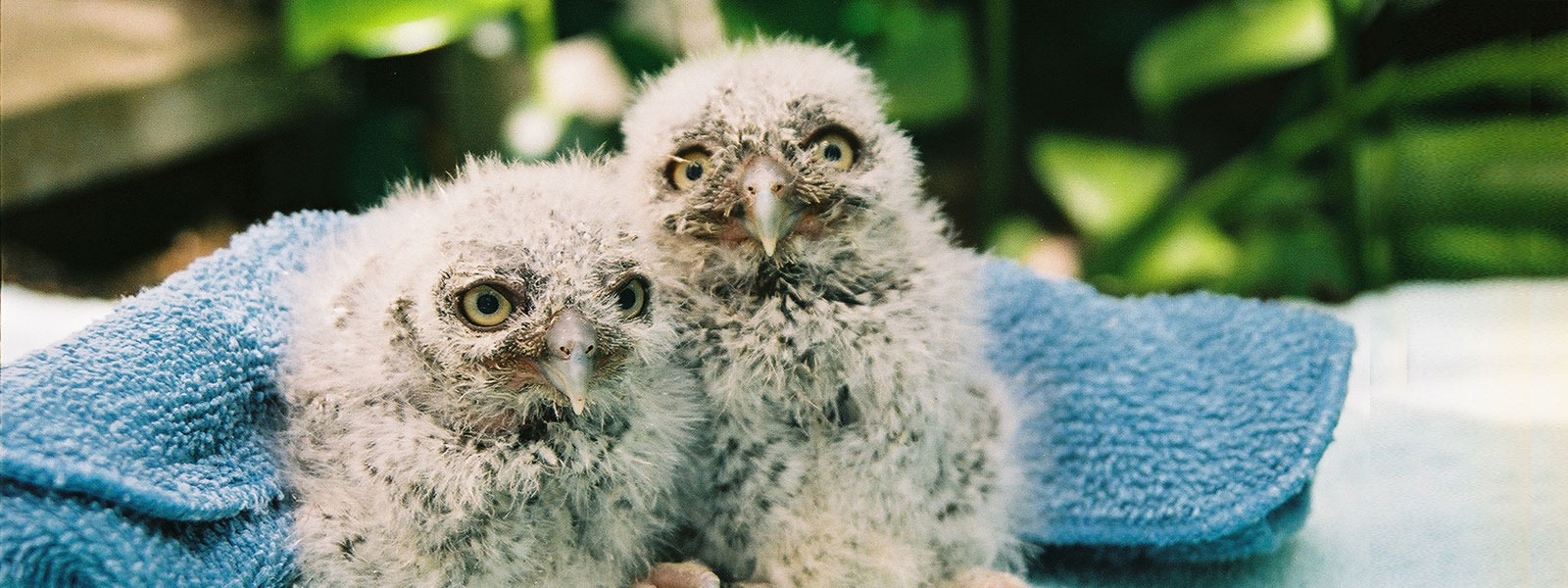 Baby Screech Owls at WildCare. Photo by Melanie Piazza