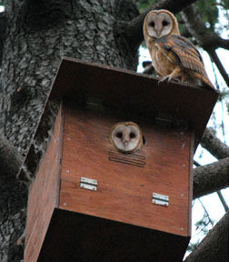 Barn Owls on box. Photo from Hungry Owl Project