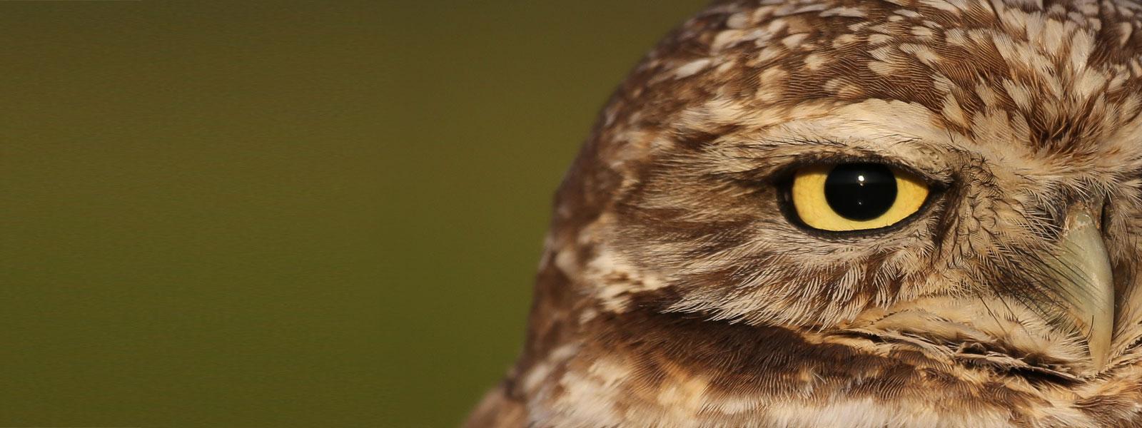 Burrowing Owl. Photo by Tory Kallman