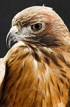 Adopt a Red-tailed Hawk