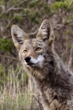 Adopt a Coyote