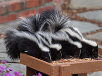 200WilsonGreg_Four-baby-skunks-in-the-backyard