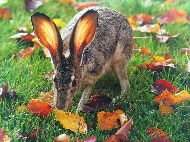 Autumn Jackrabbit. Photo by Joyce Bowes