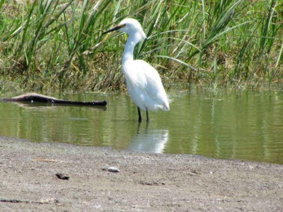 bergermarco_rodeo-lagoon-egret