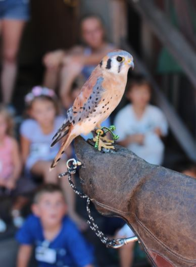 Kestrel on the glove. Photo by Tory Russell