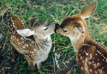 Orphaned fawns at WildCare. Photo by Mary Pounder