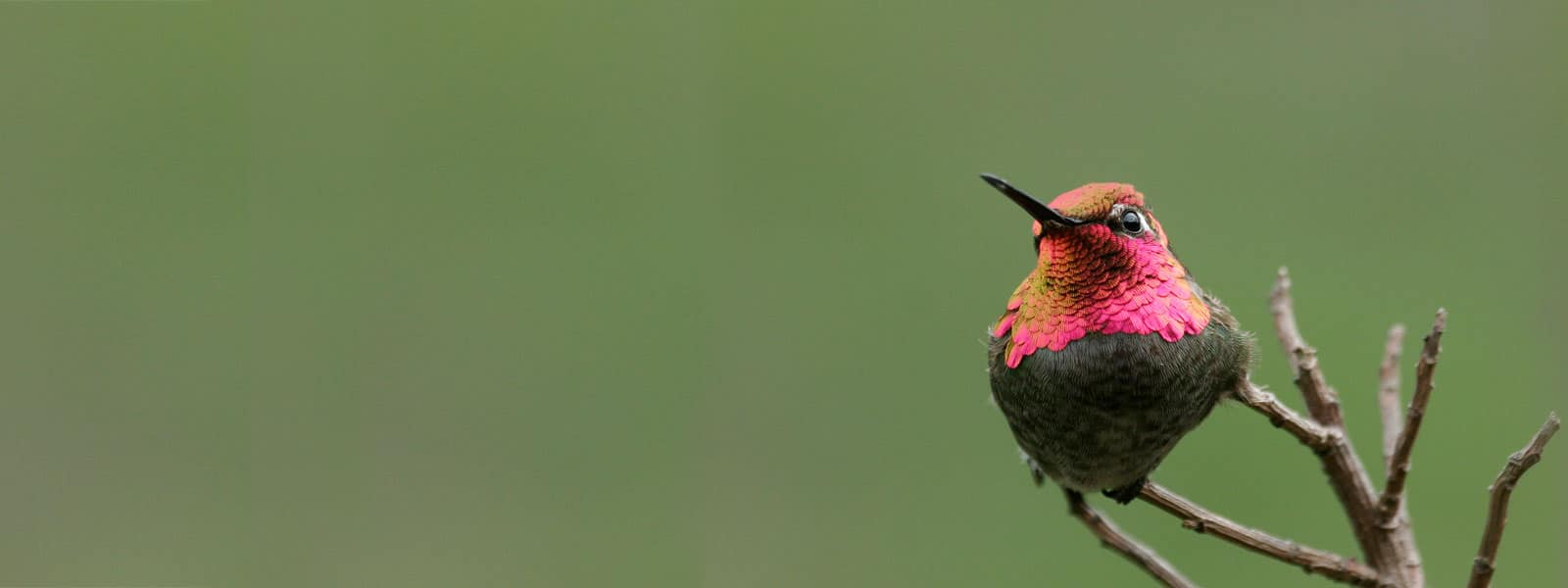 Anna's Hummingbird. Photo by Christopher Whittier