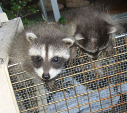 orphaned baby raccoons