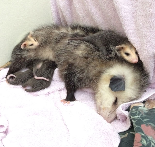 Opossum Mother And Babies At Wildcare Photo By Kate Lynch