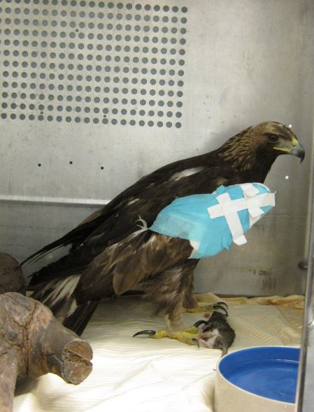 Golden Eagle at WildCare with his wing wrapped. Photo by Alison Hermance