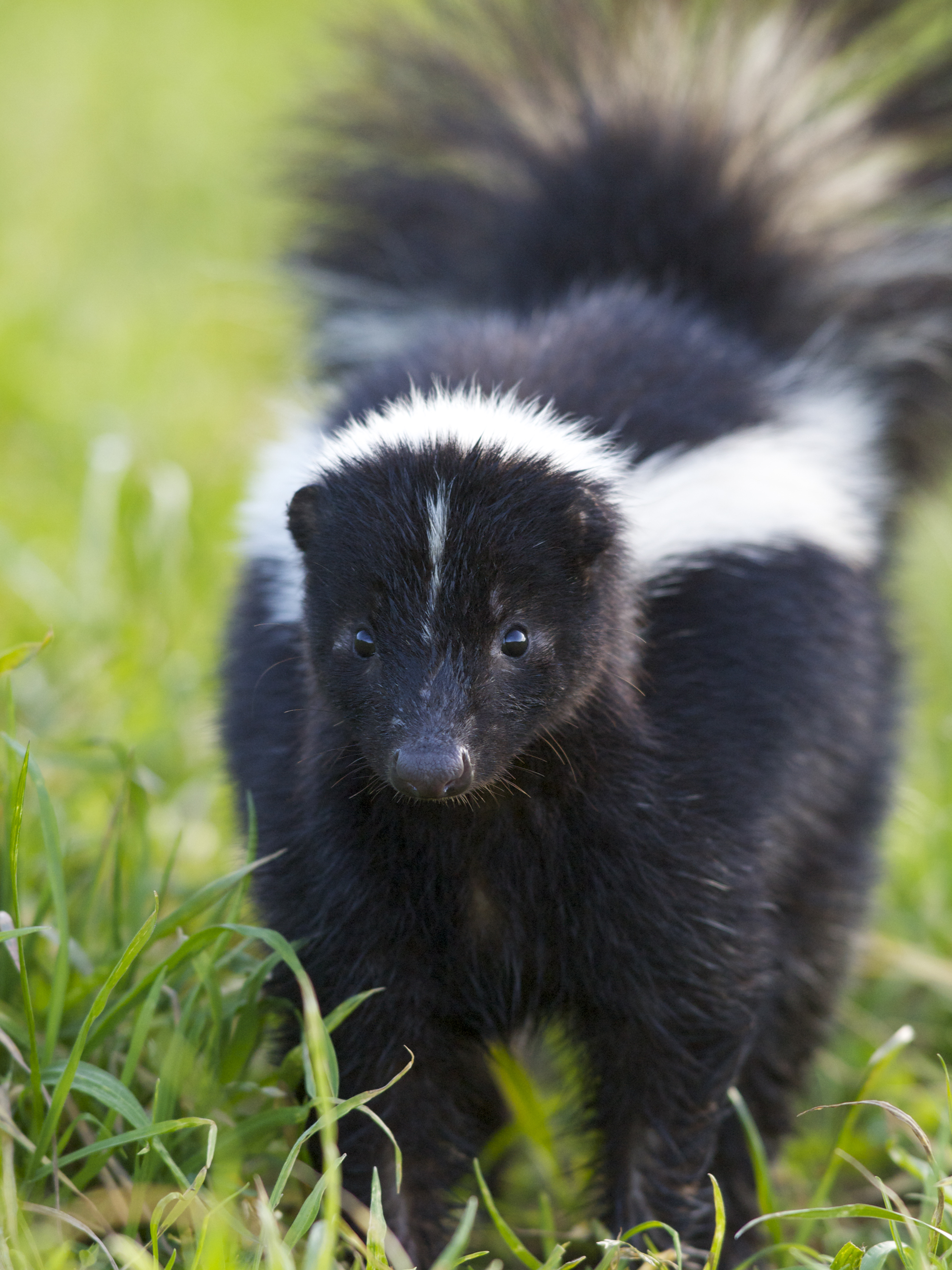 Skunk In Backyard that skunk doesn't want to spray you (or your dog) – wildcare