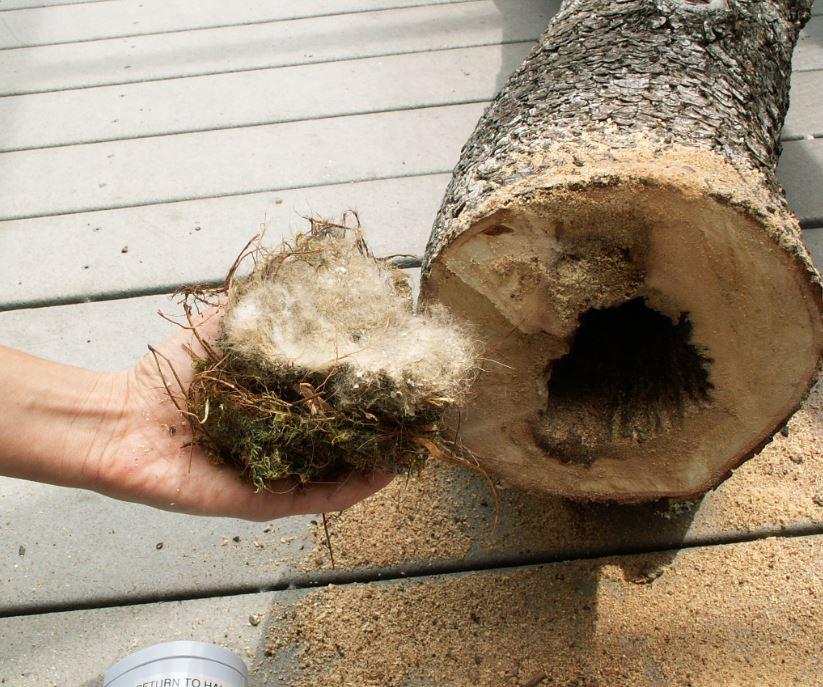 'Fue una catástrofe': Árbol con nidos de pájaros derribados en Newport Beach, enojando a vecinos - Registro del Condado de Orange