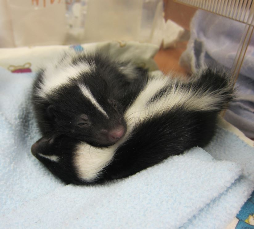 Orphaned baby skunks at WildCare. Photo by Alison Hermance