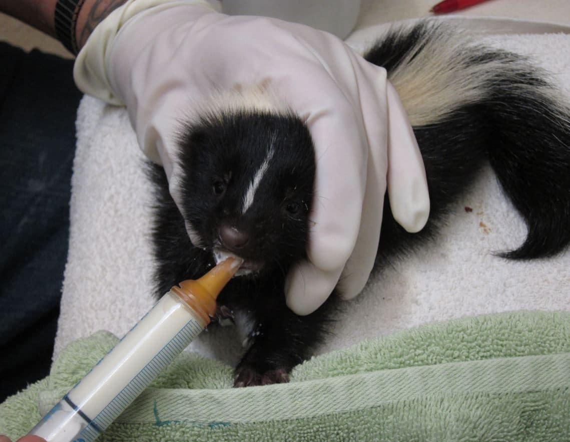 Baby skunk nursing at WildCare. Photo by Alison Hermance