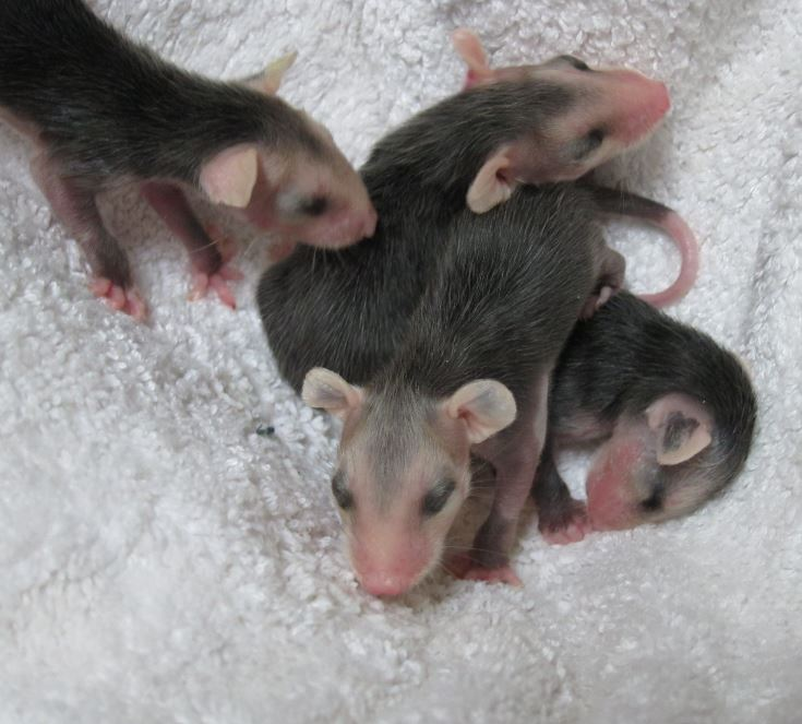 Opossum Babies At Wildcare Photo By Alison Hermance