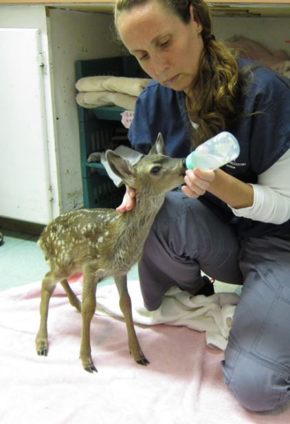 Fawn being fed at WildCare. Photo by Alison Hermance