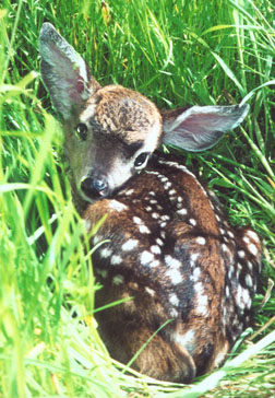 How to Tell If a Fawn Needs Help — The Five Cs – WildCare
