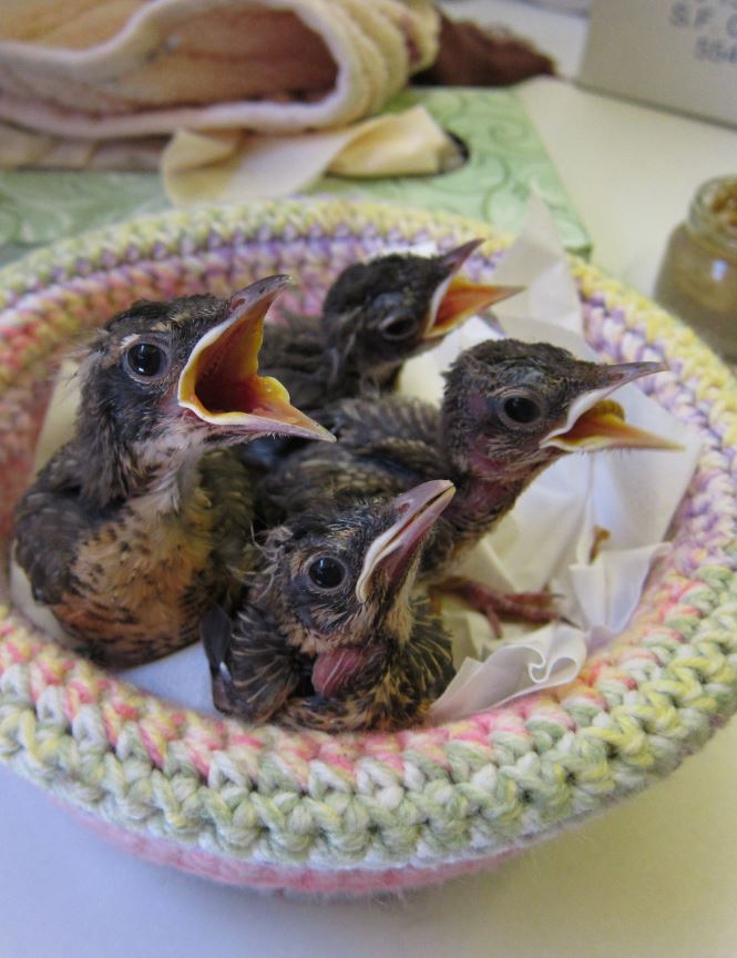 Baby robins. Photo by Alison Hermance