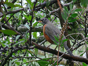 American Robin. Photo by Laura Milholland