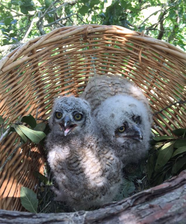 Reunited owlets. Photo by Mike Warner