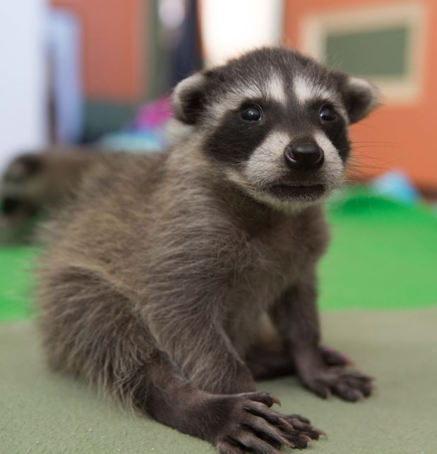 Foster care baby raccoon. Photo by Shelly Ross