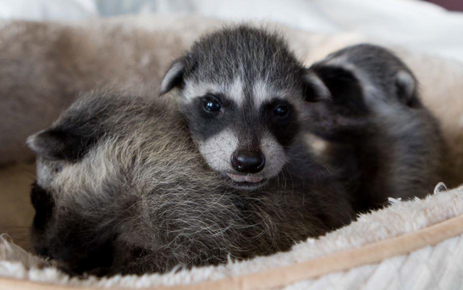 Baby Raccoons At Wildcare Wildcare