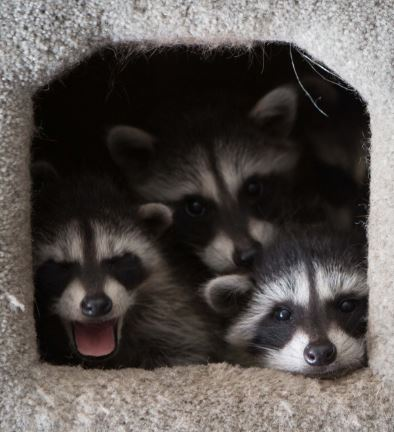 Foster Care baby raccoons. Photo by Shelly Ross