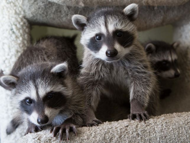 Orphaned baby raccoons at WildCare. Photo by Shelly Ross