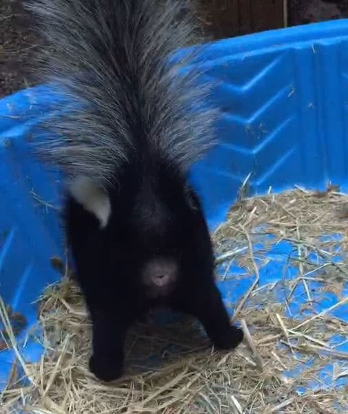 The wrong end of the skunk. Photo by Alison Hermance