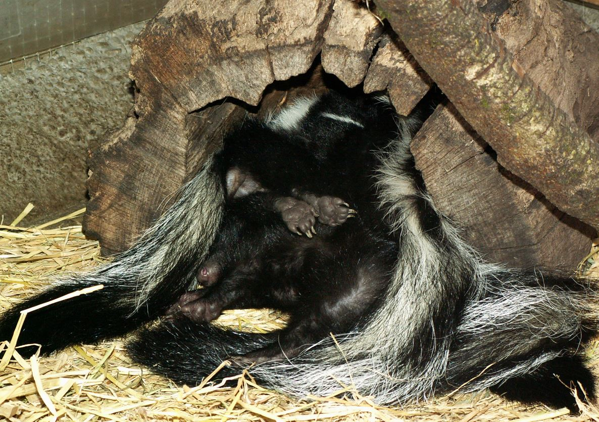 A pile of sleeping skunks. Photo by Alison Hermance