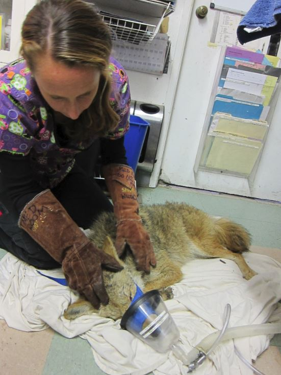 Medical Staff examines a coyote at WildCare. Photo by Alison Hermance