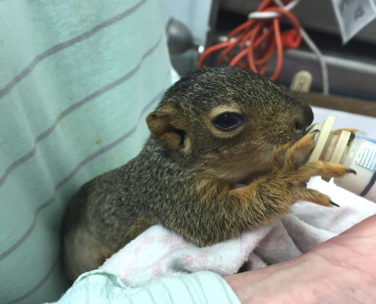 Baby Fox Squirrel in care at WildCare. Photo by Alison Hermance