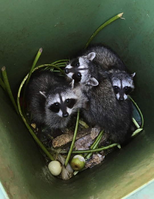 Compost Raccoons by Patrick Donohew