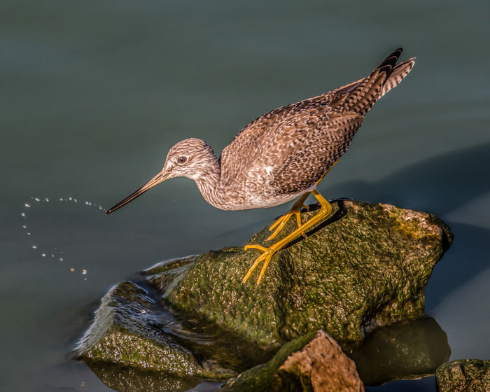 Yellowlegs with Water Droplets by Susie Kelly
