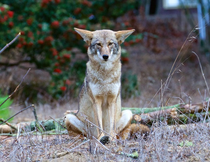 Cross-legged Coyote by Janet Kessler