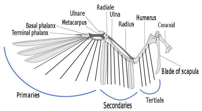 anatomy-birds-wing – WildCare