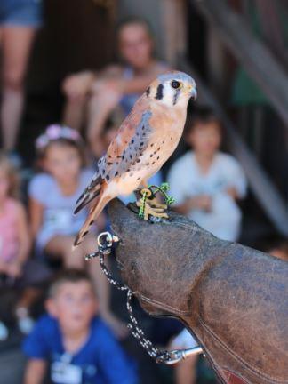Kele the Kestrel, a Wildlife Ambassador. Photo by Tory Russell