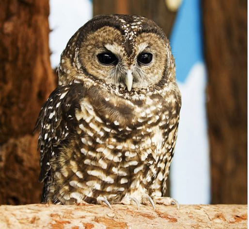 Sequoia the Northern Spotted Owl .Photo by Tom O'Connell