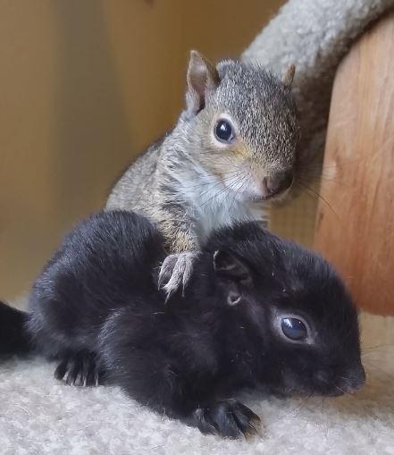 piazzamelanie_black-squirrel-and-sibling