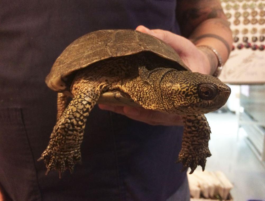 western-pond-turtle