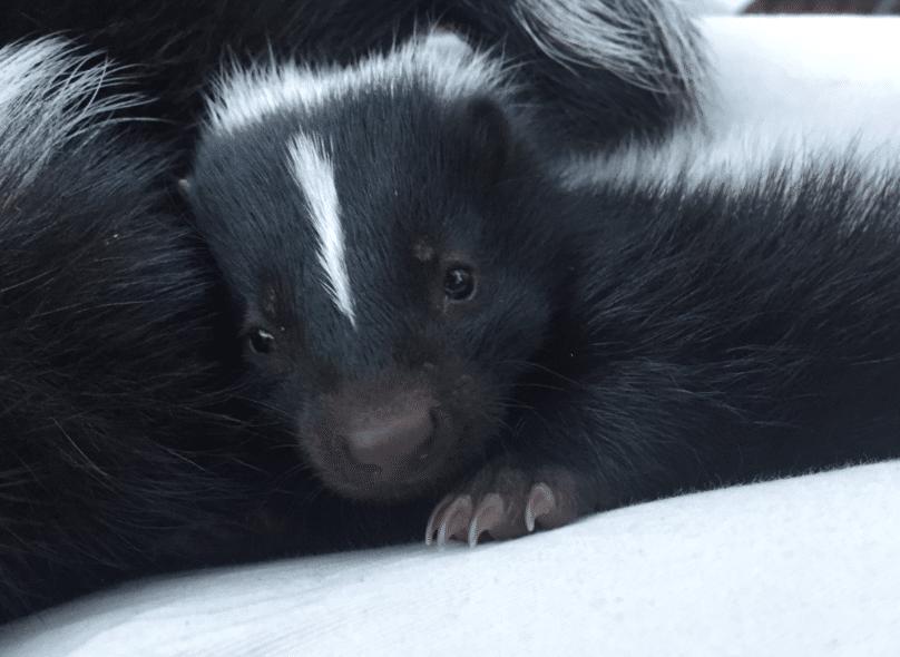 Skunk Babies at WildCare