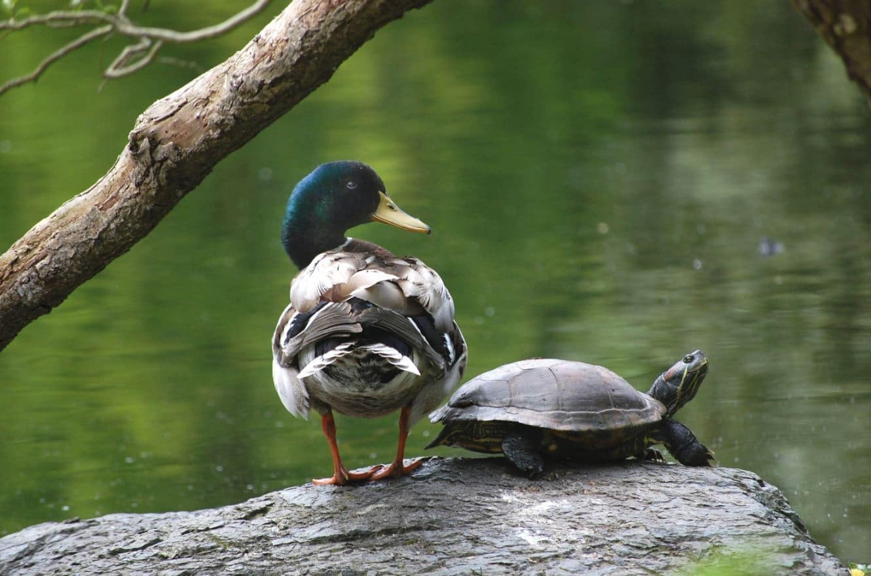Do Pet Turtles Belong In The Wild Of Course Not Wildcare