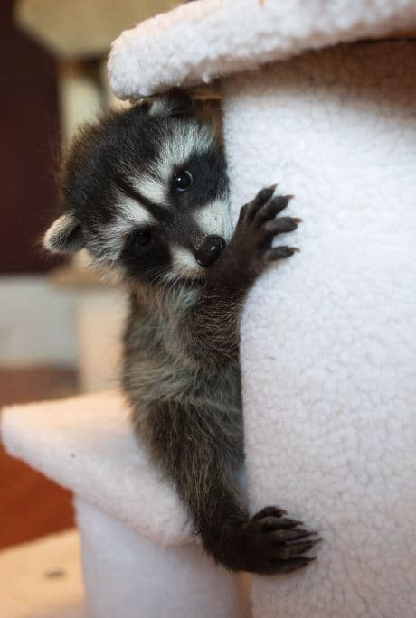 Orphaned Baby Raccoons At Wildcare Wildcare