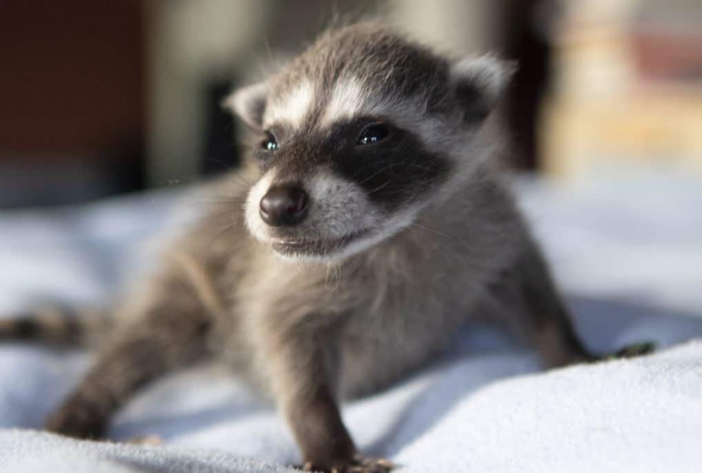 Baby Raccoons All Grown Up Wildcare