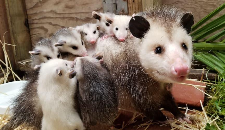 Opossum Mama and Family – WildCare