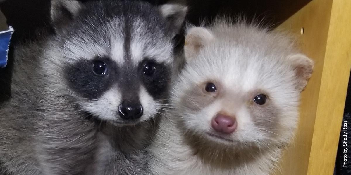 Unusual Baby Raccoon At Wildcare Wildcare