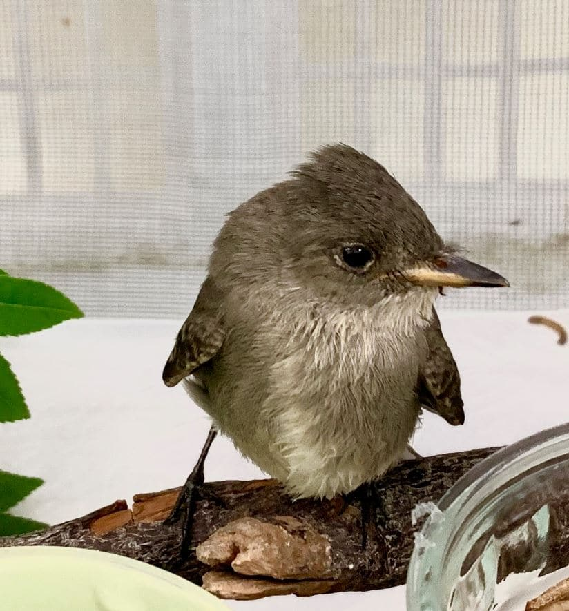 Western Wood Pewee. Photo by Nicole Trautsch